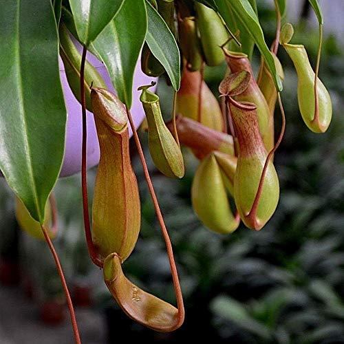 Portal Cool Kaufen 3 2 Free Nepenthes Mira Seeds 50Pcs Seltene Fleisch fressende Pflanzen-Samen Get