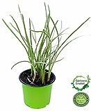 Knobi Gras, Knoblauchgras Pflanze Tulbaghia violacea, Kräuter Pflanze