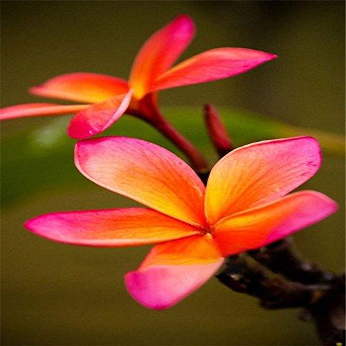 Davitu 100 pcs/lot Plumeria Graines Jardin DIY bonsaï hawaïen frangipanier Décorations Semences 3