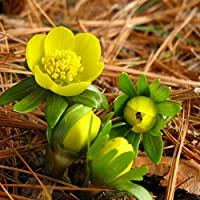 Portal Cool 10: 5-100 Eranthis hyemalis (Piè di gallo) Bulbi Hardy Nano Inizio di primavera perenne