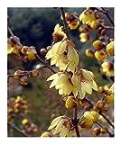 Chimonanthus praecox - Chinesische Winterblüte - 5 Samen