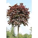 Dominik Blumen und Pflanzen, Hausbaum Rotblättriger Ahorn, Acer platanoides