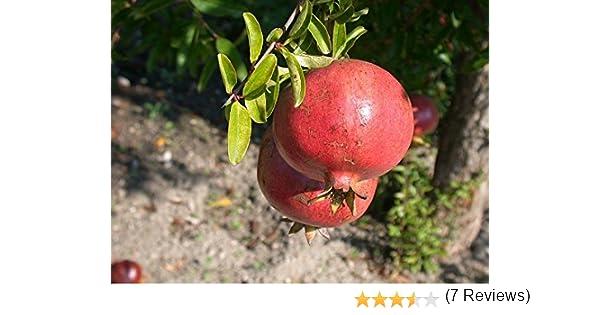 Vivaio Rosso Melograno : Melograno 1 pianta produce frutti grossi: amazon.it: giardino e