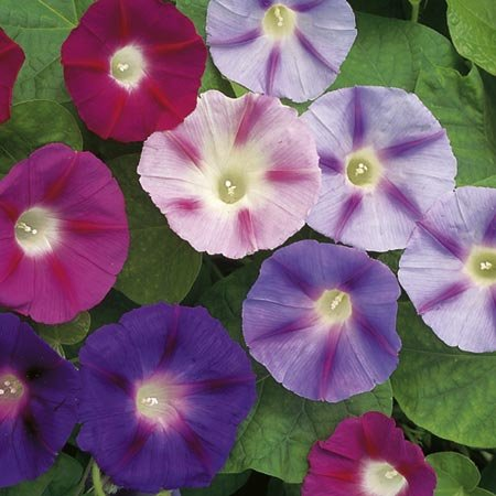 suttons-seeds-110669-convolvulus-major-trumpet-mix-seed