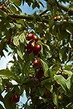 Kornelkirsche (Cornus mas) 20 Samen - Winterhart - **Super Heckenpflanze mit Geschmack**
