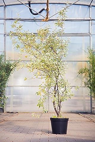 Silberölweide Zempin, 80-100 cm, Zierstrauch winterhart, Busch für Sonne-Halbschatten, Gartenpflanzen gelb blühend, Weide, im Topf