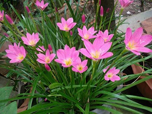 Portal Cool Veilchen Samen Matthiola Incana Seeds Mehrjährige Blumensamen Hausgarten Rlwh