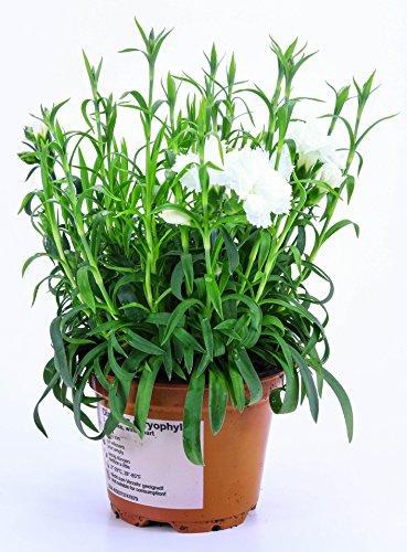 Nelken Pflanze weiß im Topf aus eigener Gärtnerei !