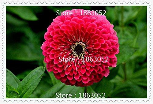 i-colori-200-misti-semi-zinnia-abbastanza-pastello-semi-di-fiore-annuali