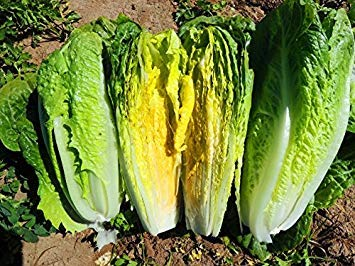 Farmerly 100 Seeds - Lettuce- Romaine- Parris Island -