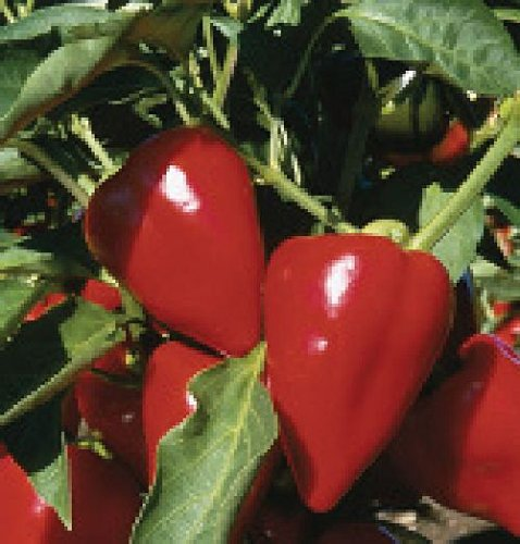 Hungarian sweet mild pepper for salads ! seeds, nice present! NON GMO, 20 graines