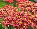 Rote Schafgarbe Achillea millefolium 200 Samen