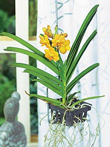 orchidee-vanda-jaune