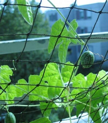 Mexikanische Minigurke – Melothria scabra – Gurke – 10 Samen