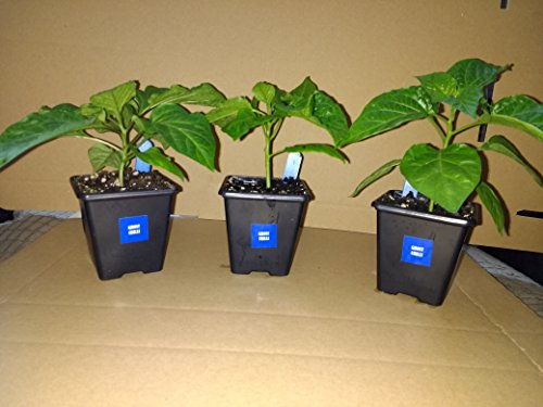 3 x 7 cm Ghost-Chilipflanzen-Set (Bhut Jolokia)