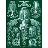 Wee Blue Coo LTD 78th Plate Ernst Haeckel Kunstformen der Natur Cubomedusae Canvas Print