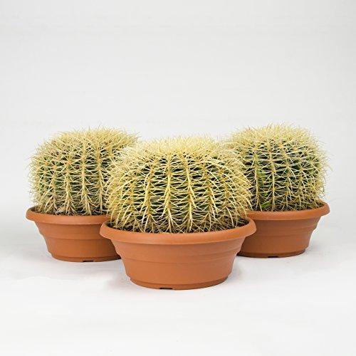 Inter Flower - 1 Pflanze Echinocactus grusonii, Schwiegermutterstuhl