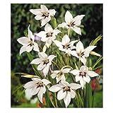 Lot de 5 Bulbes fleurs ampoule - fleurs acidanthera murielae - Taille : +/- 30 CM coloris blanches jardin fleurs vivaces