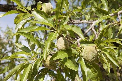 Japanischer Rosinenbaum Hovenia Dulcis