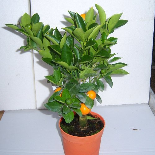 cross-common-nursery-citrus-orange-calamondin-starter-plant