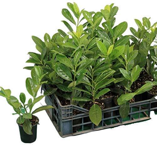 20 Piante Lauroceraso da giardino siepi siepe vaso 7
