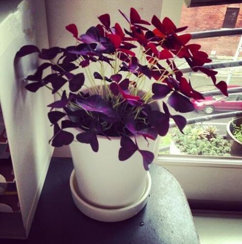 100 Oxalis Red Oxalis Fleur Oxalis pourpre Trèfle 100% graines de bonsaï Real fleurs en plein air vivaces pour le jardin de la maison 2