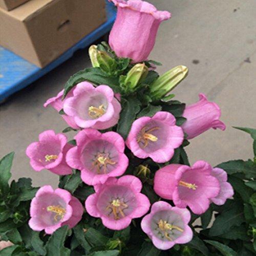 lalta-qualita-di-nuovo-arrivo-si-dirigono-il-giardino-delle-piante-100-semi-phlox-stella-di-scintill