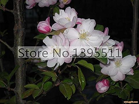 50 / bag weiß Bonsai Begonia Blumen der Wachs-Begonie Seeds