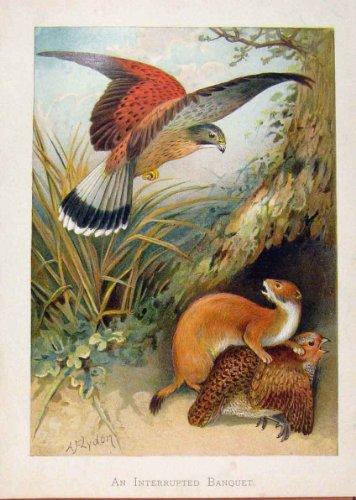 Uccelli Illustrati di Banchetto Interrotti Almanack di Londra