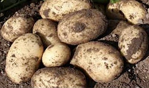 "Image of Sycamore Trading Seed Potatoes MARIS PIPER x 10 Tubers. One of the best known and popular potato varieties on sale today. Often called ""the chippies choice"" because of its cooking and frying qualities"
