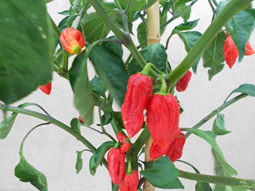 Galleria fotografica Portal Cool 20 semi puri originali Bhutlah di pepe rosso piccante + Carolina Reaper