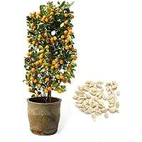 Lonlier Semillas de árboles de Bonsai Naranja 10/20/50 pcs Semillas de Naranjas para Casa, Jardín, Patio, Balcón