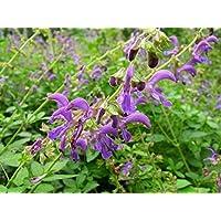 Asklepios-seeds® - 15000 Semillas de Salvia milthiorrhiza Salvia miltiorrhiza, sabio rojo, salvia china, tan shen, danshen