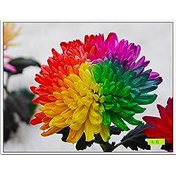 1lunji Samen Blumen–Chrysanthemen bunt selten–Samen Bonsai für Garten Pflanze von (20Samen)