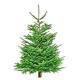 Echter Weihnachtsbaum Christbaum Tannenbaum Nordmanntanne 150-190 cm geschlagen | Qualitätsstufe: silber/mittel