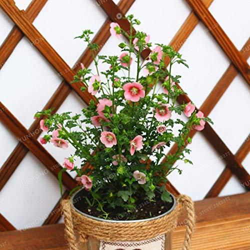 Pinkdose 100 Stücke Mini Hibiscus Bonsai Anisodontea Capensis Blume Bonsai DIY Hausgarten Topf Oder Hof Blume Bonsai Pflanze