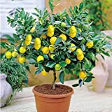 ScoutSeed 20 stücke Bonsai Samen Zwerg Zitrone Orangenbaum Houseplant Garden