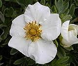 Potentilla fruticosa Tilford Cream - Fingerstrauch Tilford Cream - Fünffingerstrauch -