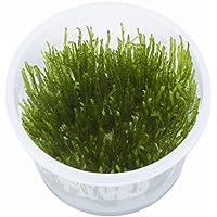 Tropica Taxiphyllum Spiky musgo 1–2-grow Tissue Culture in vitro planta para Acuario Camarón Safe & Caracol libre