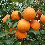 50 semillas / bolsa raras de árboles frutales en maceta nuevas variedades de árbol joven de semillas de árboles frutales Plantones de semillas de naranja naranjas dulces