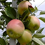 Apfelbaum Braeburn süßsäuerlich Winterapfel Apfel Buschbaum 120-150 cm im 7