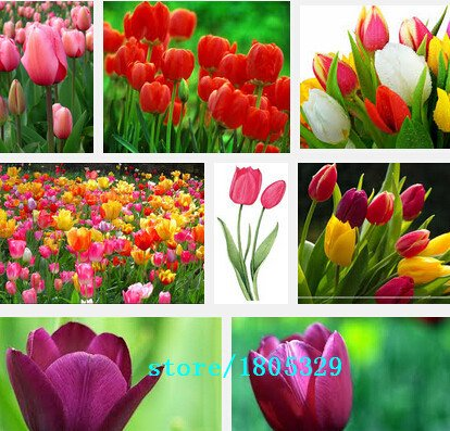 Galleria fotografica Vendita caldi 100pcs Tulip bulbi, semi Tulip sfera Bonsai Fiore Pianta in vaso miscela della sfera colori DIY si dirigono il giardino