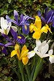 Iris Olandesi - Mix di Colori (150 bulbi) - Bulbi da fiore / fiori da giardino - SPEDIZIONE GRATUITA