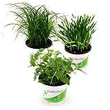 Pflanzen Set für Katzen - 2x Katzengras, 2x Katzenminze, 2x Katzengras Soft - Frische Futterpflanzen für Katzen