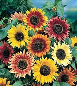 Fash Lady 4: 20pcs / sac noir graines de tournesol bio Helianthus annuus graines graines de fleurs ornementales peinture de tournesol pour la maison jardin 4
