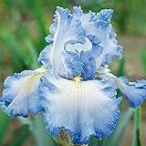 Yukio Samenhaus - exotisch 50 Stück Schwertlilien Iris Blumensamen winterhart mehrjährig Beetstaude mit unvergleichlichem Duft