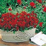 Vistaric Garten Samen Seltene Euphorbiengummi Milii Samen Klettern Blumenzwiebeln Mehrjährige Dekoration Pflanze Outdoor Bonsai Flores 100 STÜCKE
