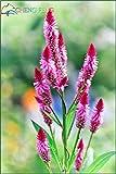 Cockscomb Seeds SeedsAndPlants Graine de pot Un sac Flower Garden En Bonsai variété complète Le bourgeonnement Taux 95% (couleurs mixtes)