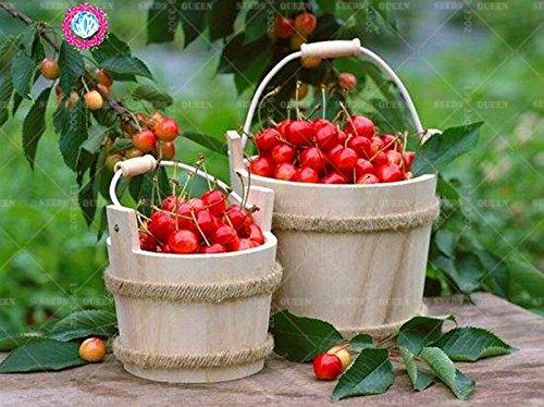 11.11 grande promotion! 20 pcs / lot de graines géantes rouges cerise fraise fruit vert jardin semences d'arbres et la maison plante vivace d'herbes biologiques