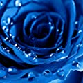 Rosepoem 20 Stücke / 3g Midnight Supreme Rose Samen Duftenden Einfach Wachsen Hausgarten Pflanzensamen von Rosepoem bei Du und dein Garten
